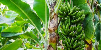 Bananer alanya, alanya bananer, historie om bananer