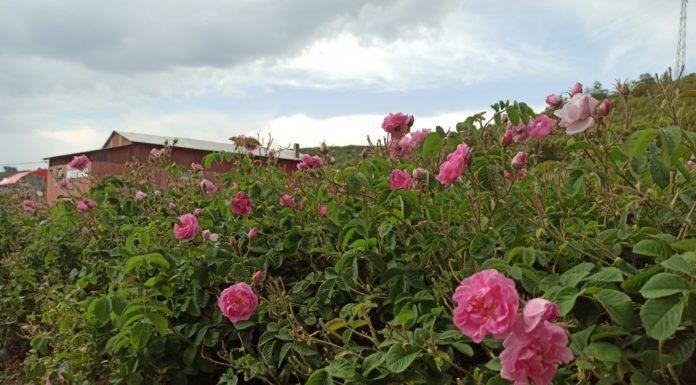 Roser, rosense, isparta, alanya, tyrkia, Isparta,lavendel og rosernes by